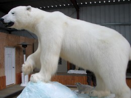 Polar Bear in the Wildlife Museum