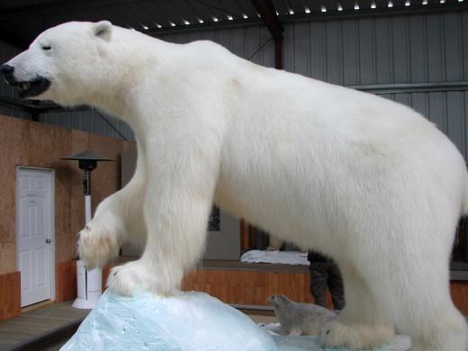 Polar Bear in the Wildlife Museum