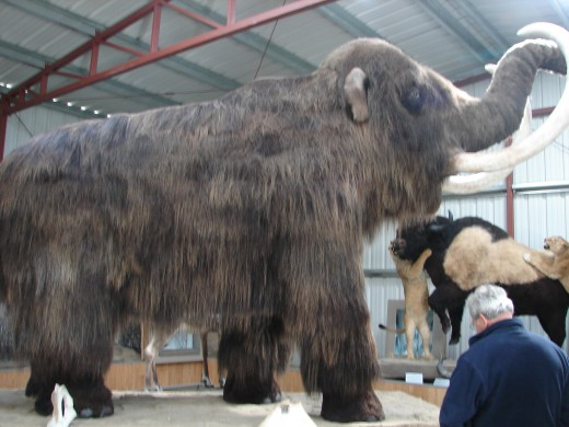 Mammoth in the Wildlife Museum