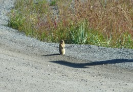 This Prairie Dog welcomed us as we came into Carcross.