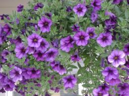 Purple passion petunias