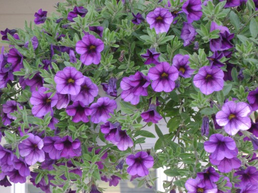 Purple passion petunias
