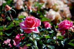 Tips to Planting a Rose Garden