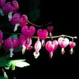 Old-Fashioned Bleeding Heart Flowers