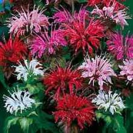 Mixed Bee Balm Flowers