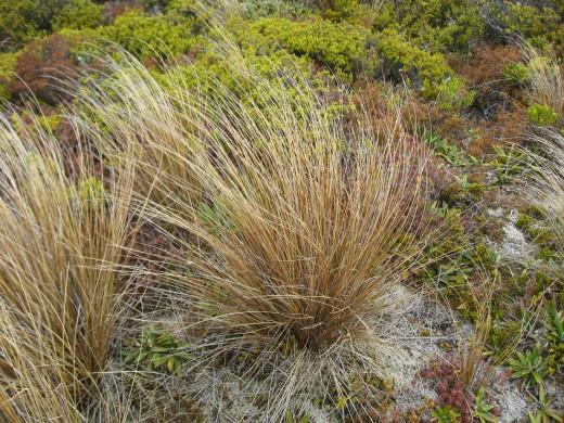 Alpine grasses in Tongariro Volcanic area.