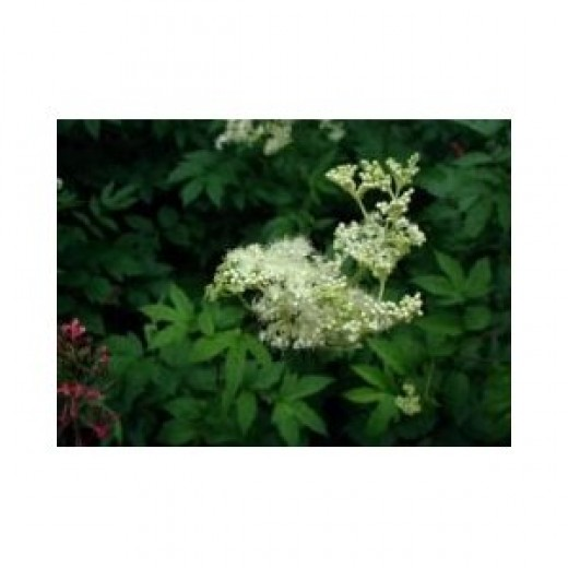 Meadowsweet is a useful herb to reduce fever and swelling