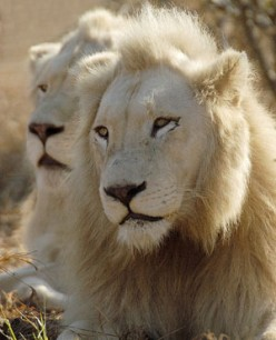 White Lions of Timbavati, my girlfriends, the epigramman and I - a poem