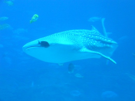 Whale Shark! - A gentle giant.