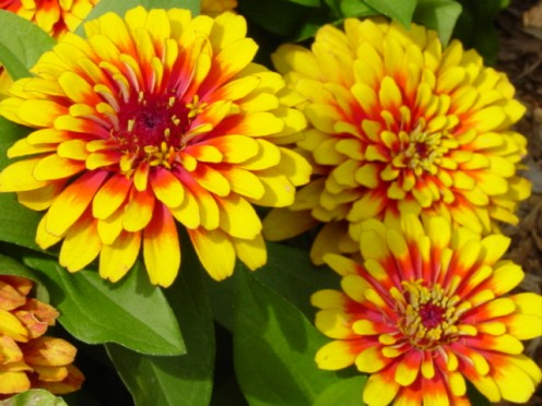 These zinnias resemble marigolds