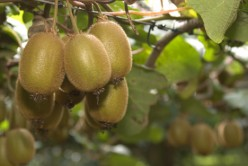 Kiwi is grown from a woody vine.