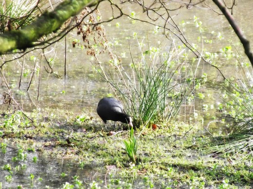 COOT FEEDING ON THE MUD BANK