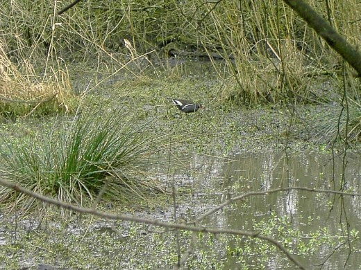 Moorhens are shy birds and keep their distance from man.