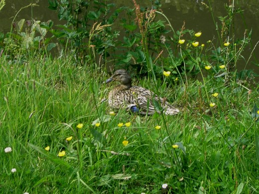 FEMALE MALLARD RESTING ON THE BANK. NOTE THE DARK COLOURED BILL.