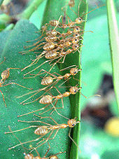 Weaver ants (self-made, Dec 2007)