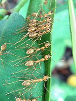 Weaver ants (self-made, Dec 2007)