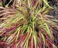 5 Eyecatching Ornamental Grasses