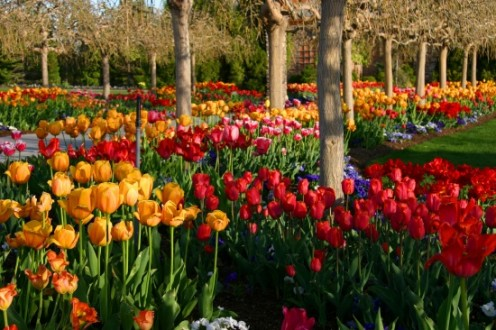 Celebrate spring with the arrival of tulips