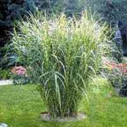 Hardy tropicals uk view topic variegated boos for Landscaping with zebra grass