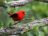 The Scarlet Tanager is one species that because of destruction of its natural habitat in tropical rainforests, have declined in number. They can be found summering in Northern regions, where habitat for many bird species like tanagers are protected