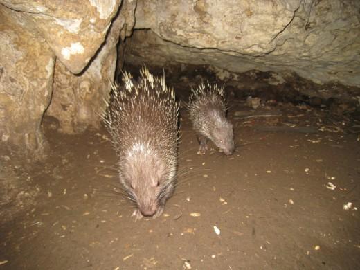 Porcupine in Pangandaran