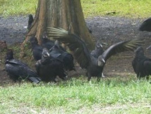 American black vultures pictured at the NASA Space Center in Florida.  The birds can live happily alongside humans, largely unafraid, and will eat the food and some of the other waste that humans throw away.