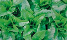 Amish Deer Tongue; This one I have grown before and think is excellent.  The Amish Deer Tongue is a loose leaf lettuce and is heat tolerant dating back to the mid 1700s.  Has a sharp taste, and is a heavy producer, it is a cut and come again lettuce,