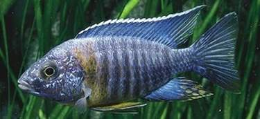 Blue Peacock African Cichlid
