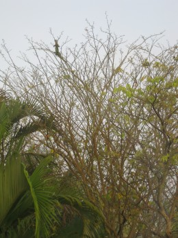 Iguanas love to climb trees and hang out on the branches.