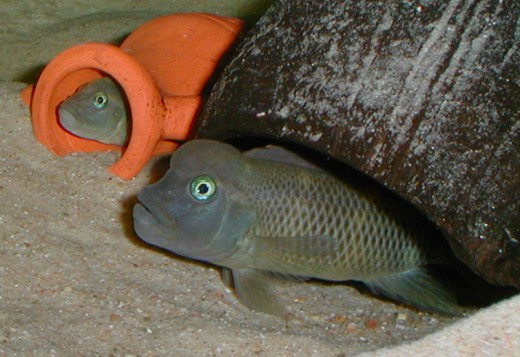 Male (larger) and female (smaller) Steatocranus Casuaris
