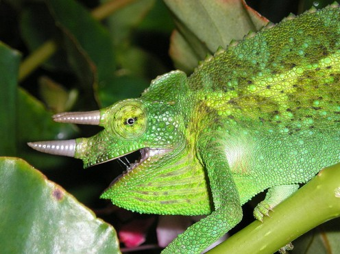 Green Chameleon, just like Rango in the movie Rango!