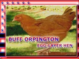 Buff Orpington Egg Layer Hen