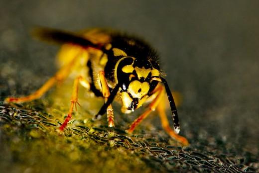 A Wasp