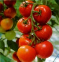 Everything About Tomatoes. Check it Out!