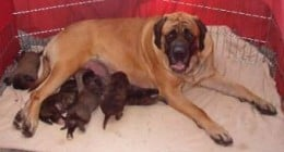 Shirley with her second litter. (Not Dick's -- he was from her first)