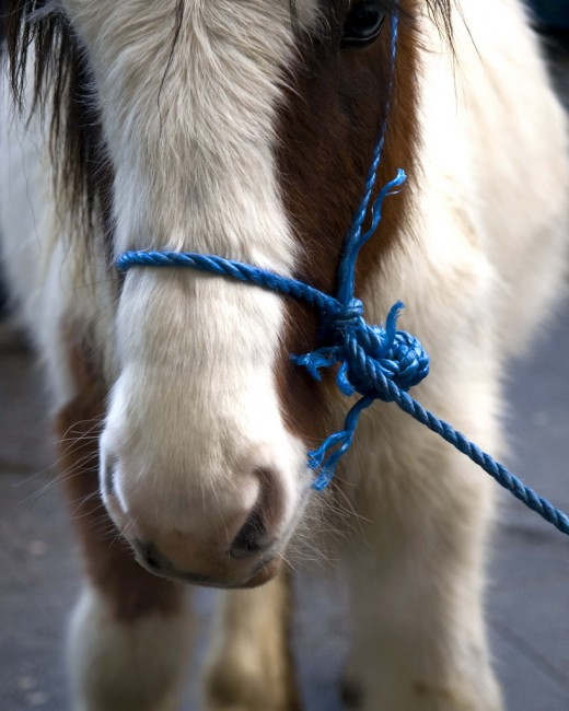 Tired: A coloured pony tethered with blue rope rests its head