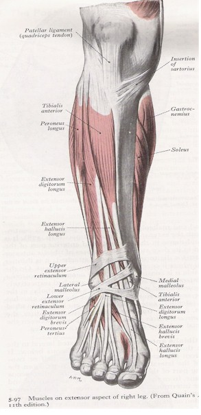 Anatomy of shin conditioning