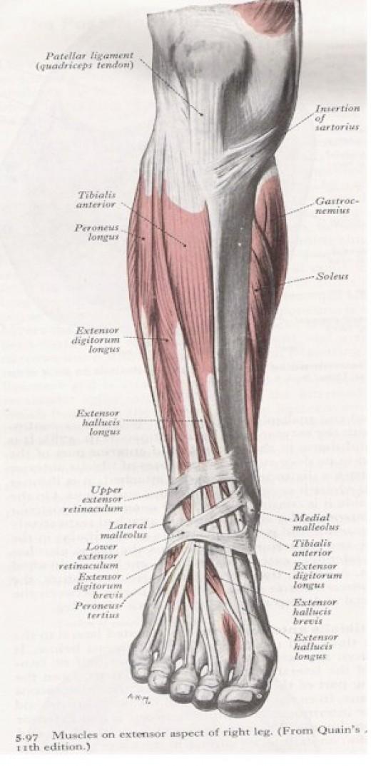 Anatomy of shin conditioning