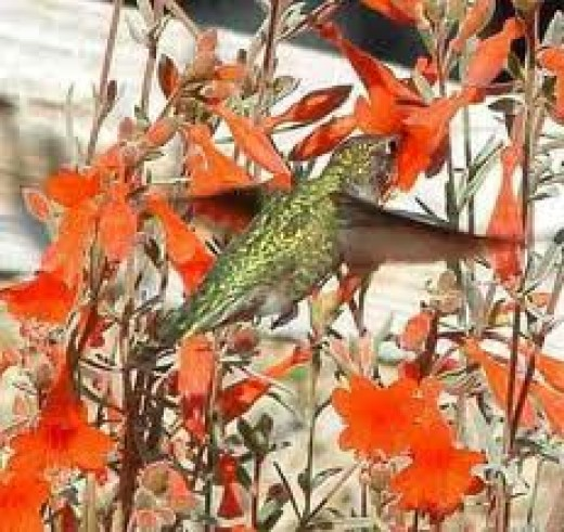 Hummingbird  feeding from a variety of  the long tubular flowers it favors.