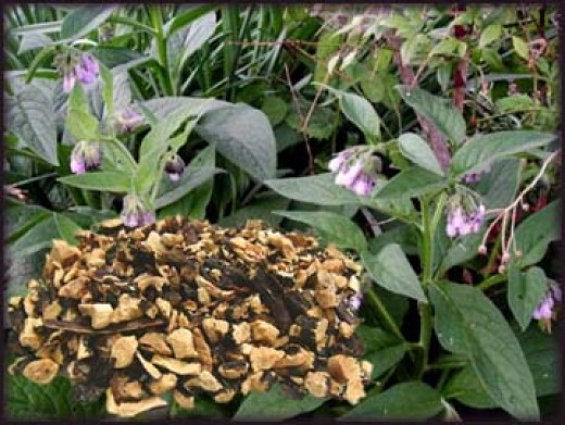 Comfrey plant showing chopped and dried root