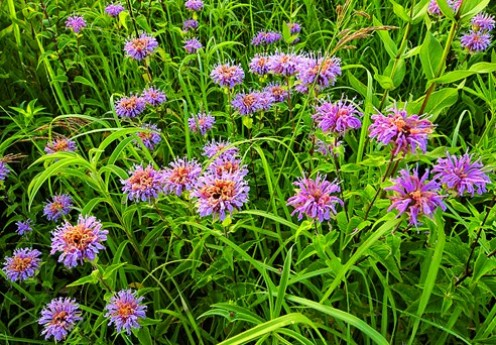 Wild bergamot is also known as bee balm and horse-mint.