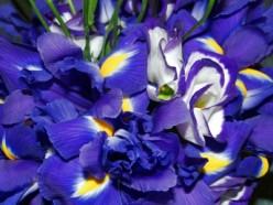 Three Best Iris Perfumes For Women and Men