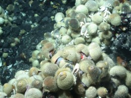 Alviniconcha sp. in high concentration at hydrothermal vent site