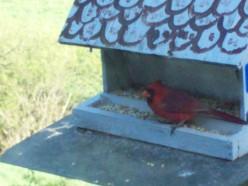Crazy Acting Cardinal