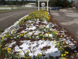 Daffodils and Snow in Julian