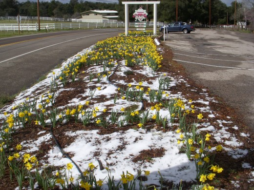 Daffodils and Snow in Julian