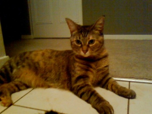 Ramona is a calico and tabby mix.  Notice the different colors in her coat combined with stripes.