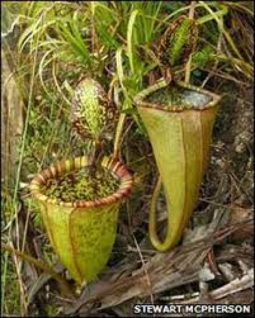 meat-eating pitcher plant