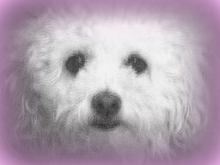 The Beauty Of A Bichon-A Great Family Dog