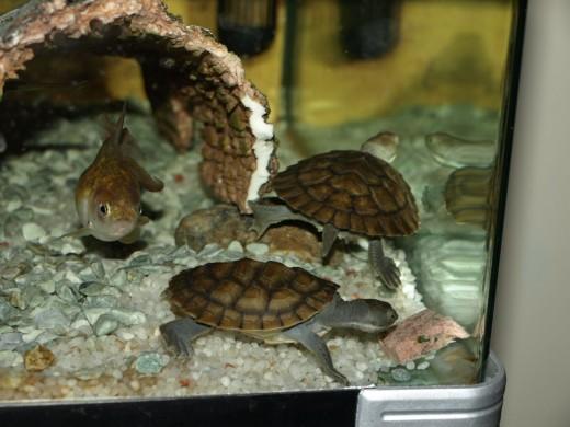 Pet Turtles Make Great Pets